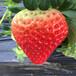 新品种达娜草莓苗前景怎么样、达娜草莓苗批发基地
