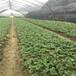 一代枥女草莓苗前景怎么样、一代枥女草莓苗一棵的价格