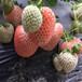 新品种坎东噶草莓苗出售基地、坎东噶草莓苗销售价格