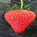 批发妙香7号草莓苗、批发妙香7号草莓苗哪里有