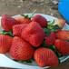 山东蜜雪草莓苗、山东蜜雪草莓苗一棵的价格
