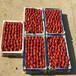 什么地方卖草莓苗、草莓苗批发价位