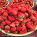 2019年奶油草莓苗、2019年奶油草莓苗批发价位
