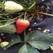 山东京郊小白草莓苗基地哪里?#23567;?#23665;东京郊小白草莓苗一棵的价格