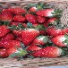 2019年蜜雪草莓苗、2019年蜜雪草莓苗销售价格