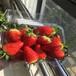 脱毒佐贺清香草莓苗、脱毒佐贺清香草莓苗种植基地