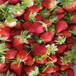 山东京桃香草莓苗、山东京桃香草莓苗出售价钱