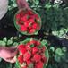 新品种坎东噶草莓苗供应价格、坎东噶草莓苗一棵多少钱
