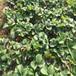 新品种达娜草莓苗哪里便宜、达娜草莓苗价格