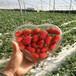 新品种牛奶草莓苗价格及报价、牛奶草莓苗多少钱