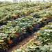 新品种法兰地草莓苗、新品种法兰地草莓苗供应价格
