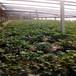 新品种坎东噶草莓苗出售、坎东噶草莓苗种植基地