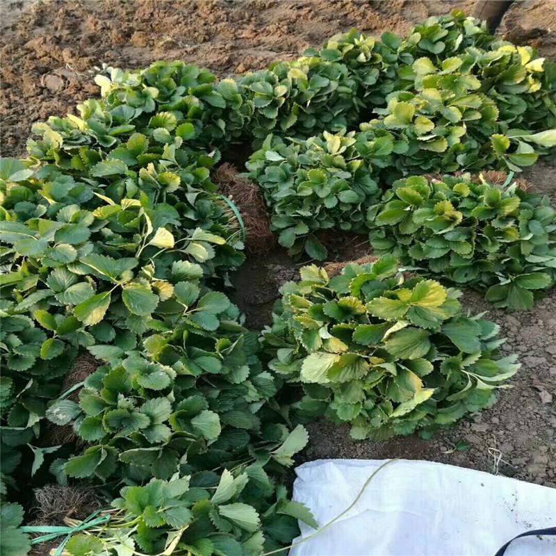 新品种津美22号草莓苗、新品种津美22号草莓苗近期报价
