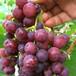 美人指葡萄苗哪里有賣、美人指葡萄苗種植基地