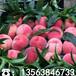 3公分粗占地桃苗哪里有卖、3公分粗占地桃苗一棵多少钱