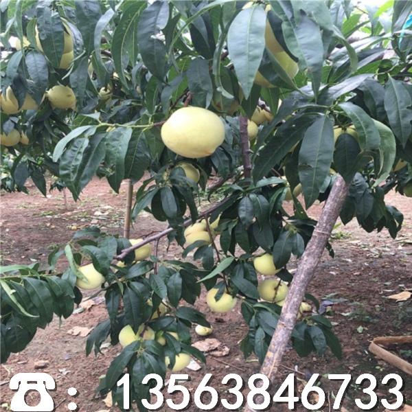 山东果农十号桃树苗什么地方卖、果农十号桃树苗一棵多少钱
