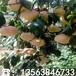 春雪桃树苗出售基地、春雪桃树苗价格多少