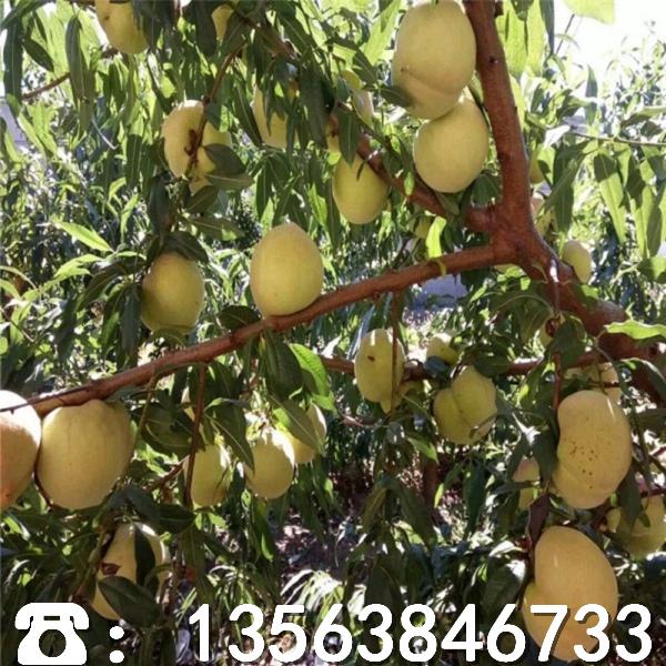 新品种皖农一号桃树苗多少钱、皖农一号桃树苗批发价格