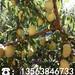 新品种中熟桃树苗基地、中熟桃树苗前景行情