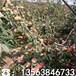 哪里有晚熟桃樹苗批發出售、晚熟桃樹苗價格多少