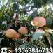 哪里有晚熟桃树苗价格、晚熟桃树苗多少钱一棵