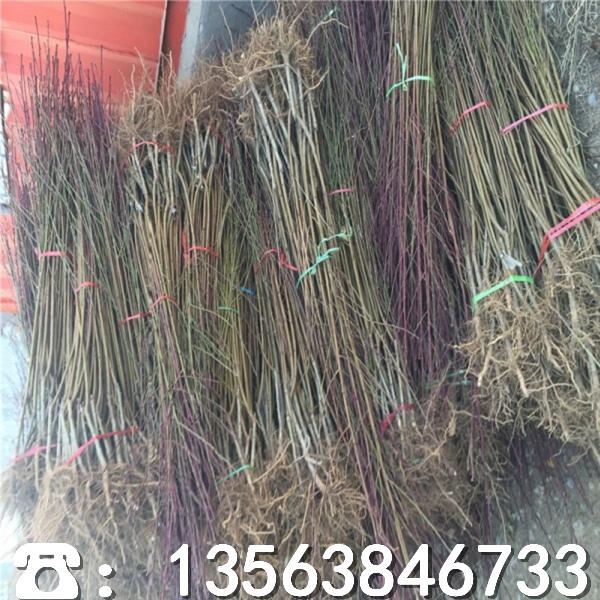 批发全红桃树苗、批发全红桃树苗价格及报价