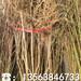 新品种金冠8-18桃树苗、新品种金冠8-18桃树苗价格及报价