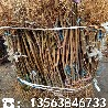 哪里有黃桃樹苗哪里有賣、黃桃樹苗批發價位