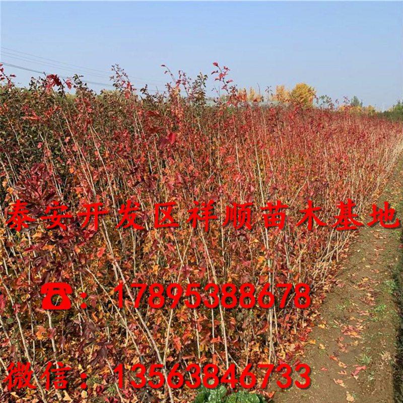 新品种5公分山楂苗价格、5公分山楂苗价格多少