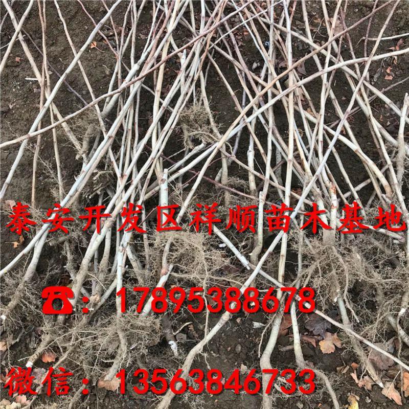 新品种3公分山楂树苗出售价格、3公分山楂树苗价格及报价