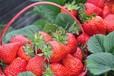 章姬草莓苗價格、天仙醉草莓苗產量高嗎