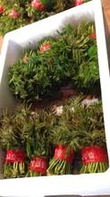 2公分香椿苗供应价格、陇南2公分香椿苗品种齐全图片