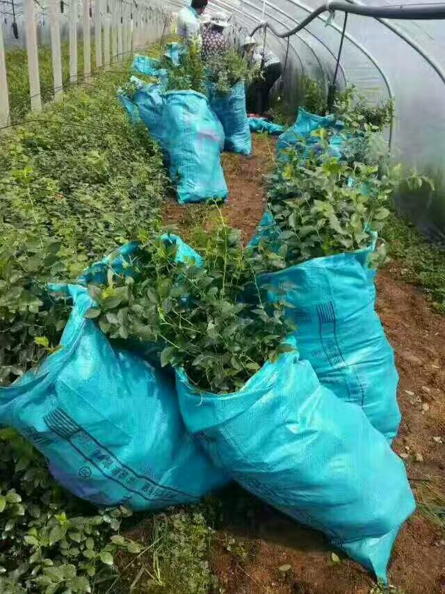 杜克藍莓苗哪里有賣、四川杜克藍莓苗價格優惠