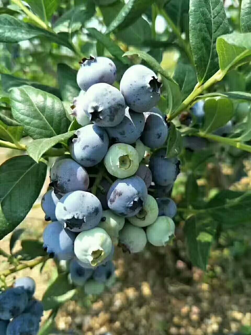 莱克西蓝莓苗供应、福建莱克西蓝莓苗种植专业合作社