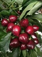布鲁克斯樱桃苗小苗、大理布鲁克斯樱桃苗一亩地种植多少棵图片