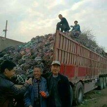 大红枣树苗哪里有卖、广东大红枣树苗批发价格图片