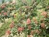 福州嫁接花椒苗一亩地种植多少棵