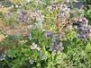 5年天后蓝莓苗栽植季节