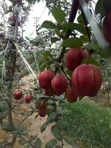 红香酥梨树苗哪里销售湖南红香酥梨树苗在线报价