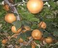 黄金梨苗哪里便宜福建黄金梨苗批发价格
