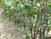 夏黑葡萄苗哪里便宜广东夏黑葡萄苗价格优惠