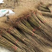 软籽石榴苗哪里销售、内蒙古软籽石榴苗今日价格图片