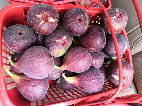 日本紫果无花果苗哪里销售内蒙古日本紫果无花果苗种植技术
