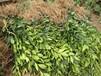 基地)湖南蜜桔桔子樹苗供應基地