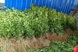 基地)河南沙糖桔桔子樹苗育苗基地