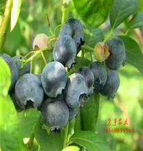 秀山斯卫克蓝莓苗多少钱棵图片