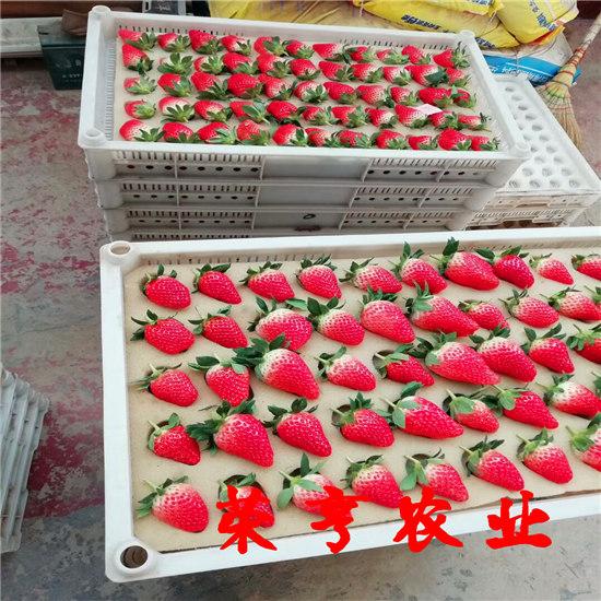 来宾全草莓明星苗好v草莓攻略游亲子三日北京图片