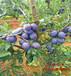 便宜西梅苗一棵的产量----苗木信息