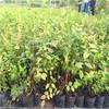 四川五十公分高蓝莓苗哪里批发