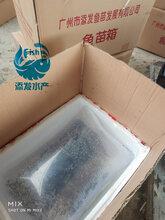 大量草鱼苗出售草鱼苗价格草鱼苗供应商图片
